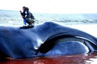 IWC Whaling proposal collapses