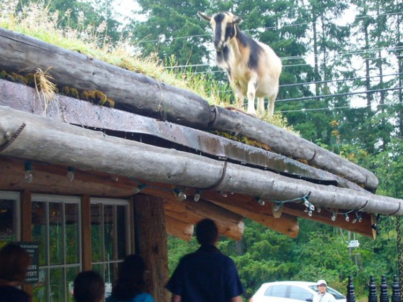 goat-on-the-roof