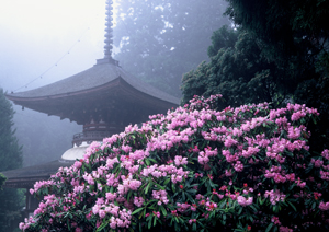 Tahoto at Kongosanmai-in and Rhododendrons