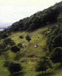 Cows grazing on the hillsides