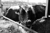 Fukushima-cattle