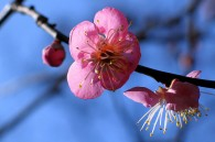 plum-blossom-festivals