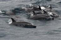 taiji-dolphin-hunt