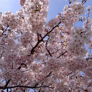 first-cherry-blossoms