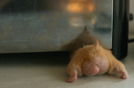 hamster-butts