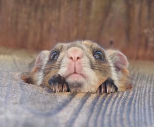 karuizawa-flying-squirrel