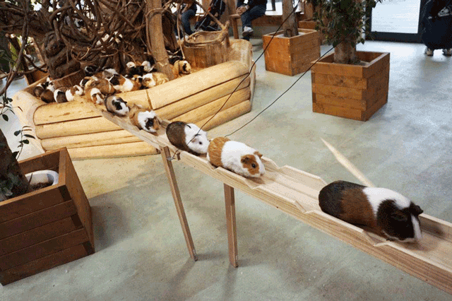 guinea-pigs-bridge