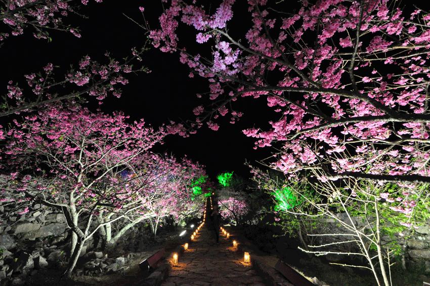 Okinawa-castle-hanami