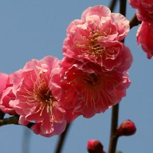plum-festivals-tokyo