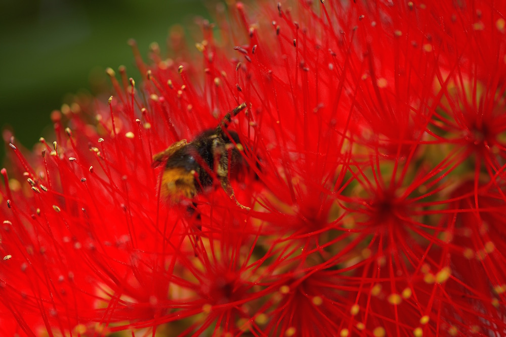 Honey Bee and Red Flower