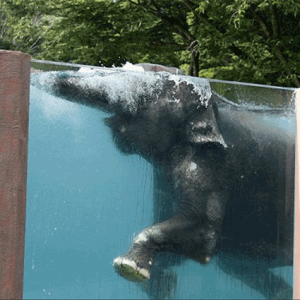 elephant-swimming-pool