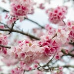 Fly South for Winter Cherry Blossoms in Okinawa