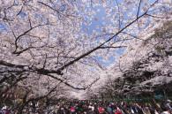 ueno-park-hanami