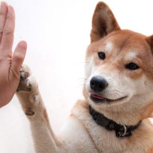 shiba-inu-high-five
