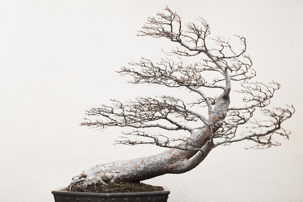 bonsai-stephen-voss-in-training