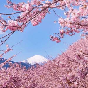 Kawazu-cherry-blossoms