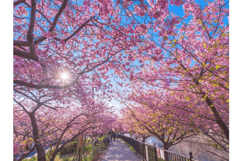 Kawazu-cherry-blossoms-sunshine