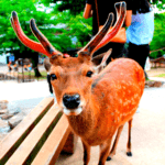 Nara to Capture – and Possibly Cull – Some of Its Local Deer