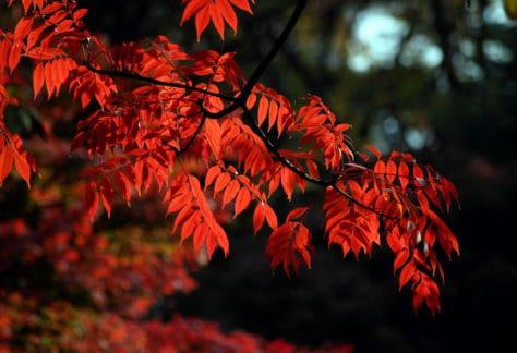 Rikugien Gardens Autumn Leaves