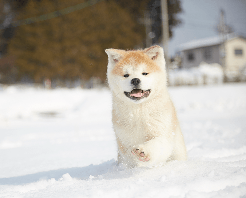 an akita puppy running through the snow