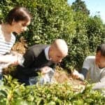 Experience Tea Picking with This Kyoto Tea Garden Hiking Tour