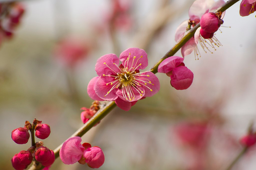 Pink plum blossom flowers and round buds on a branch