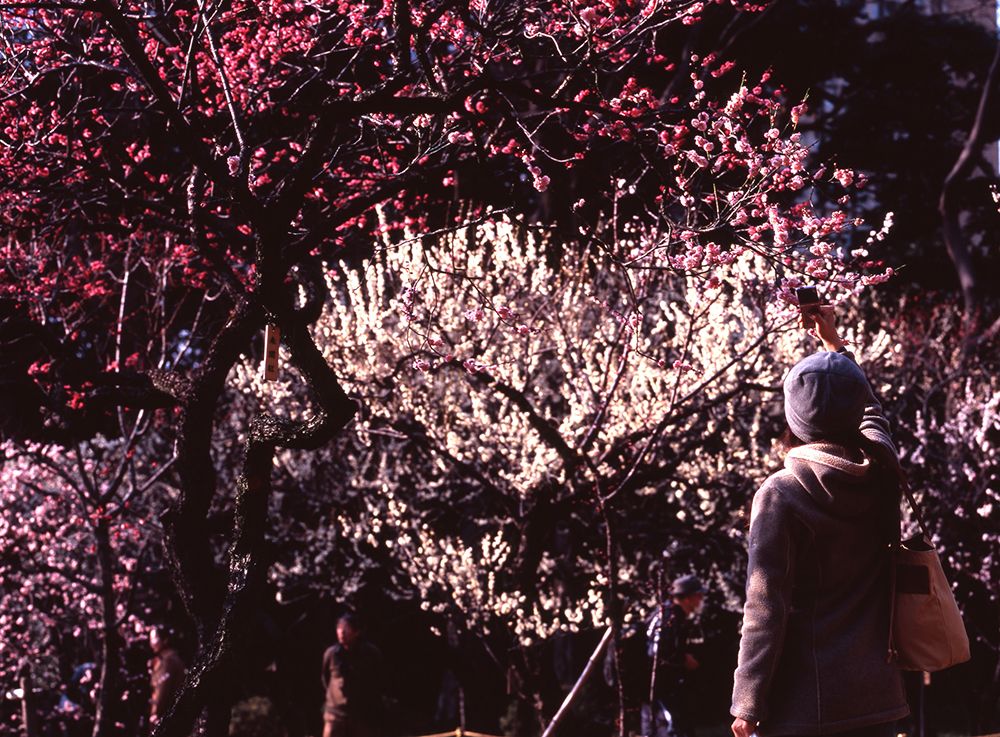 woman taking photo of plum blossom trees in the park
