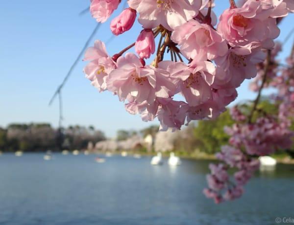 Senzoku Pond hanami cherry blossom sakura tokyo weekender