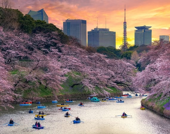 cherry-blossoms-tokyo-smaller