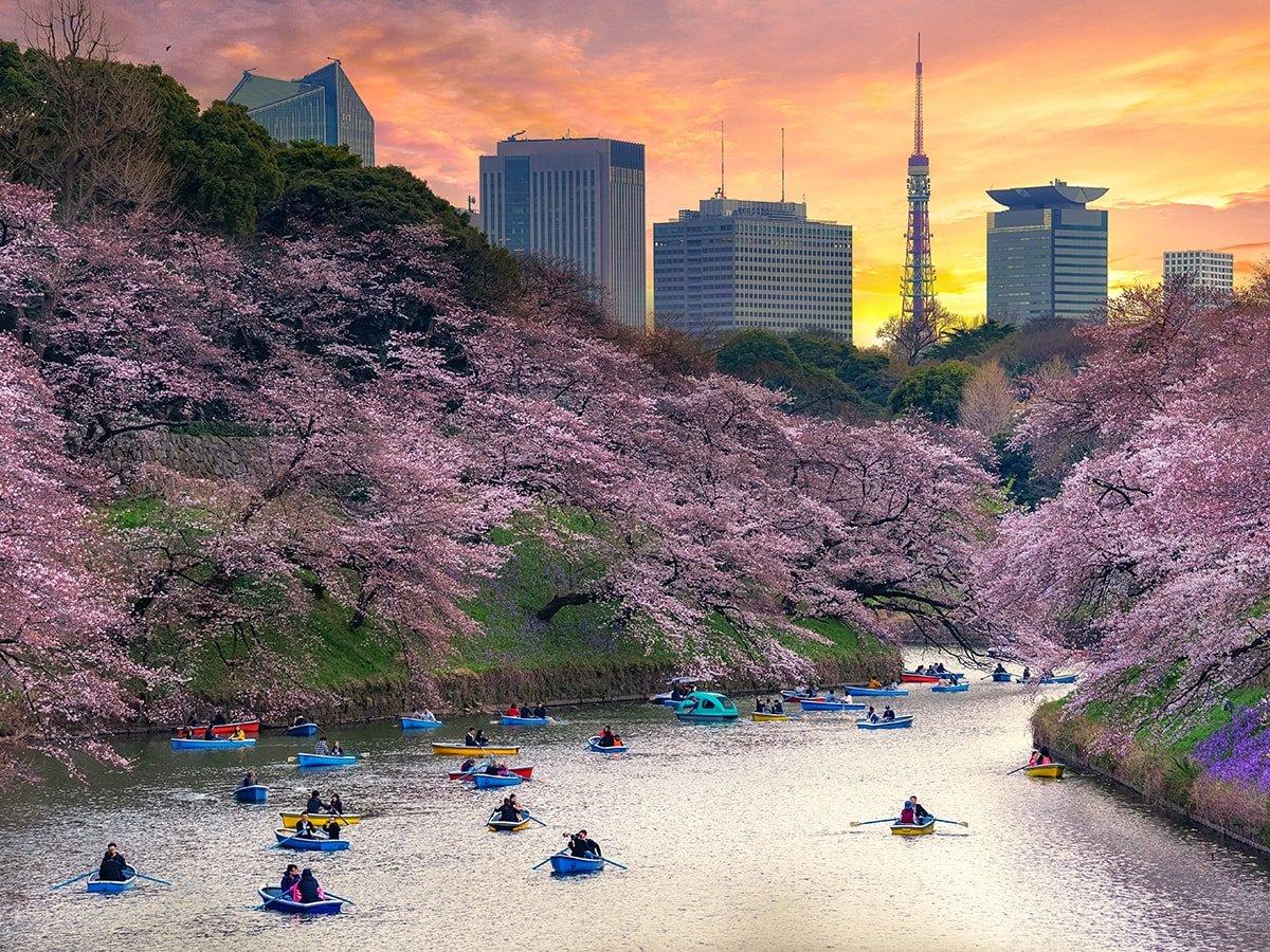 cherry-blossoms-tokyo-smaller