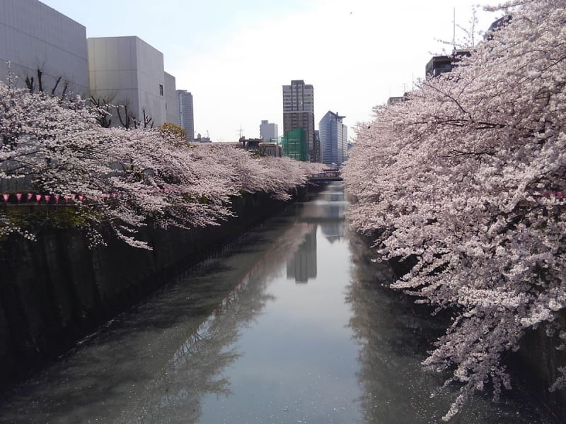 Meguro River with sakura on the sides of the river