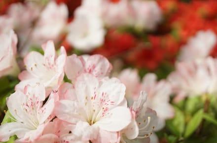 tokyo-azaleas-crop-resize