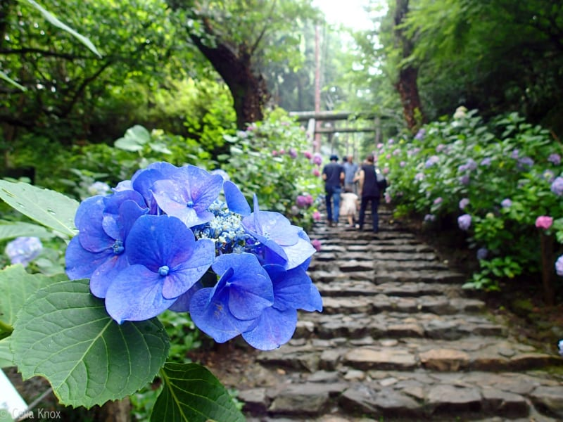Day Trips From Tokyo: Top 5 Places to View Japan's Hydrangeas