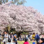 5 People I Saw During Cherry Blossom Season at Shinjuku Park
