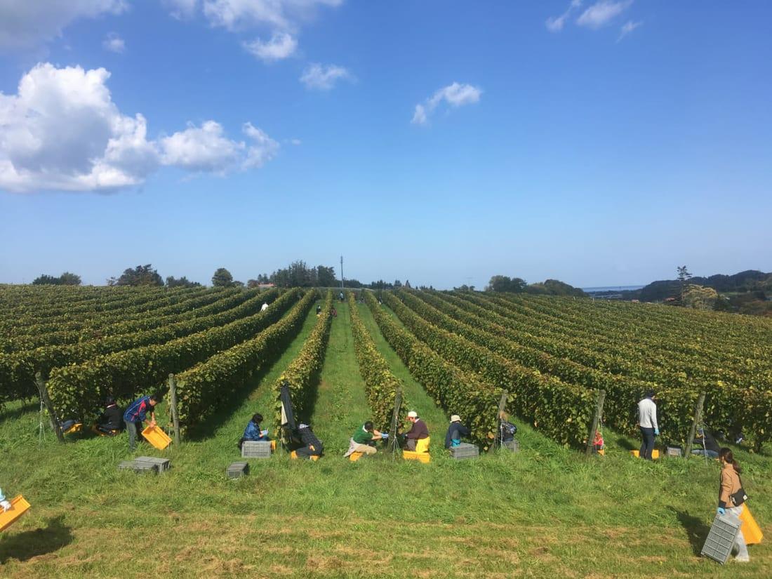 Vineyard at Domaine Takahiko in Hokkaido