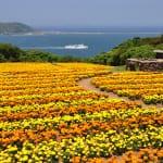 Feel the Love Among the Flowers of Nokonoshima Island