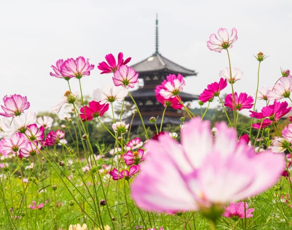 Cosmos at Hokki-ji Temple