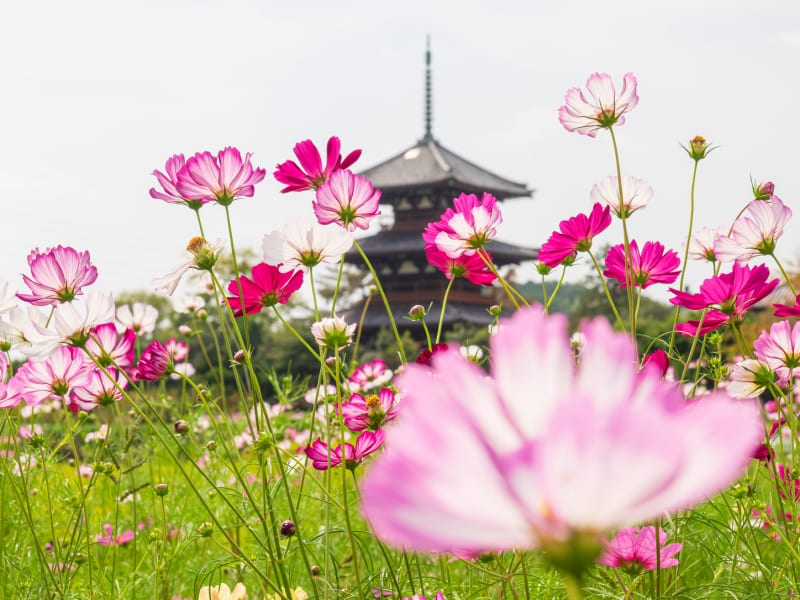 See the Autumn Cosmos Brighten Nara's Ancient Temples