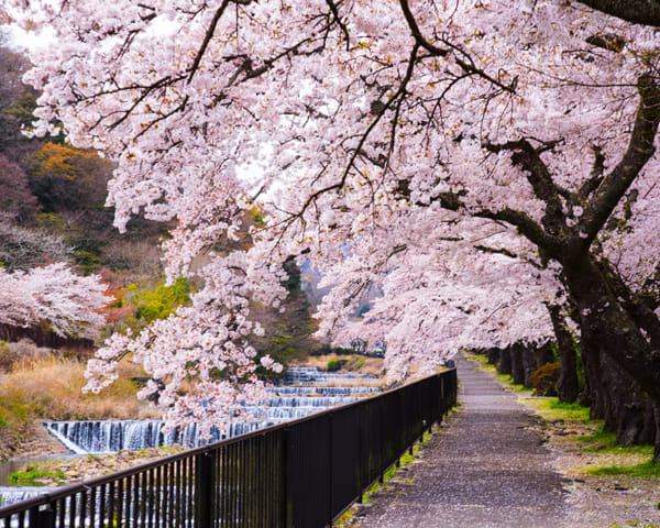 Day Trip from Tokyo: Where to See Cherry Blossoms in Hakone