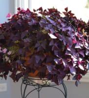 Oxalis Triangularis (Purple Shamrocks)