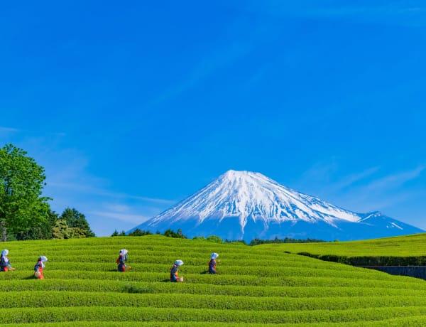 Shizuoka green tea