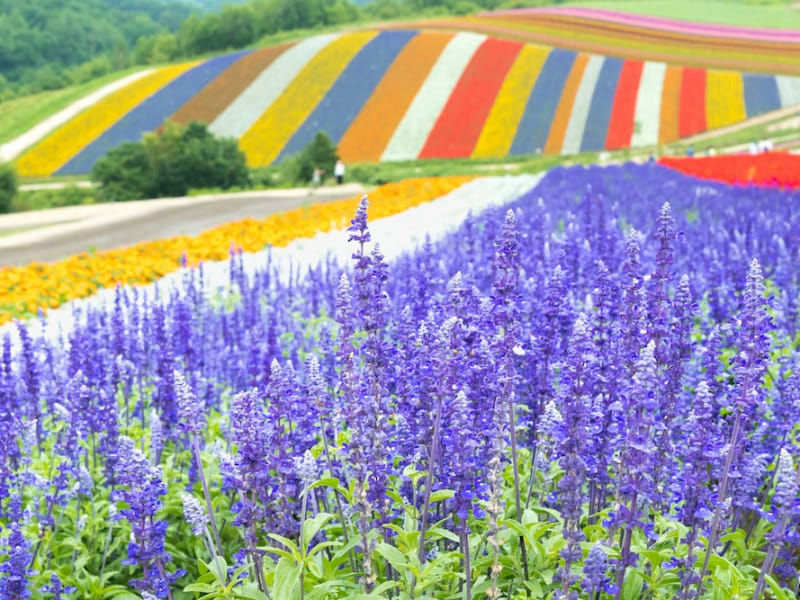 Purple Waves of Furano: Traveler's Guide to Hokkaido's Lavender Fields